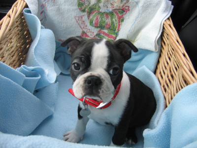 In-Home: Puppy Starter & Manners Training